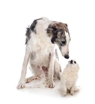 Młody borzoj i chihuahua