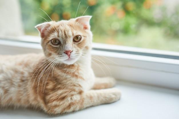 Młody brytyjski krótkowłosy czerwony kot w paski leży na parapecie w domu, domowe zwierzę, patrzy w kamerę