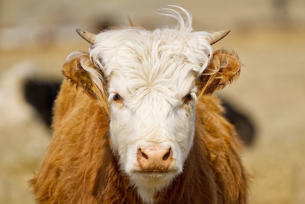 Młody chandler herefords krowa portret brązowo-biała farba krowa śliczna pomarańczowa krowa z białą głową