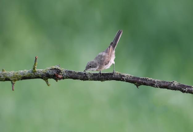 Młody cieśniak pospolity (curruca curruca) nakręcony w naturalnym środowisku na gałęzi i krzewach na niewyraźnym zielonym tle