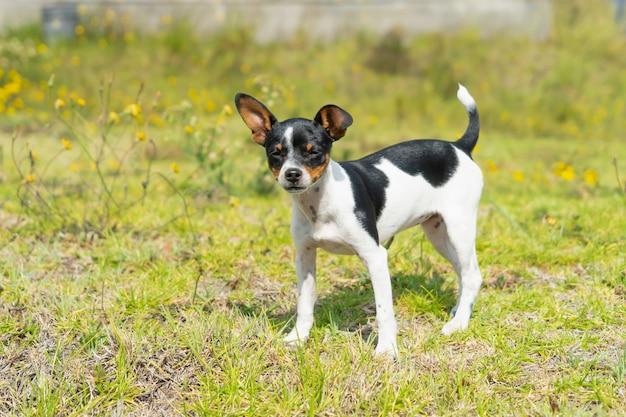 Młody czarno-biały pies stojący na trawie