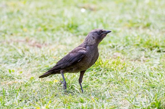 Młody czarny kruk na trawie w słoneczną pogodę
