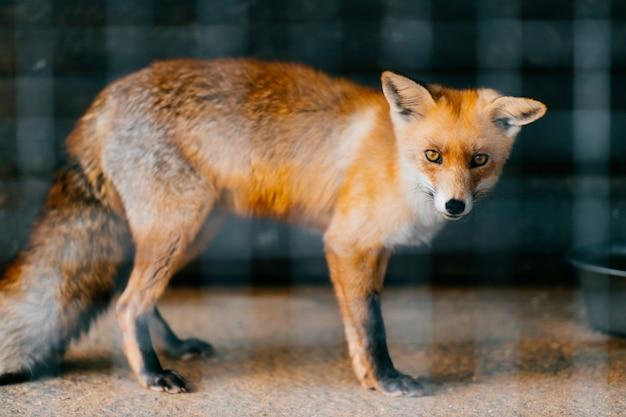 Młody czerwonego europejskiego lisa dziecko w niewoli w zoo. słodkie i urocze przestraszone zwierzę z przebiegłymi, inteligentnymi wąskimi oczami stojącymi w klatce