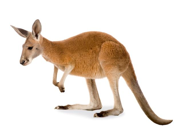 Młody czerwony kangur (9 miesięcy) - macropus rufus izolowane