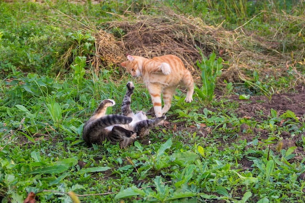 Młody czerwony kot bije szarego kota leżącego na ziemi