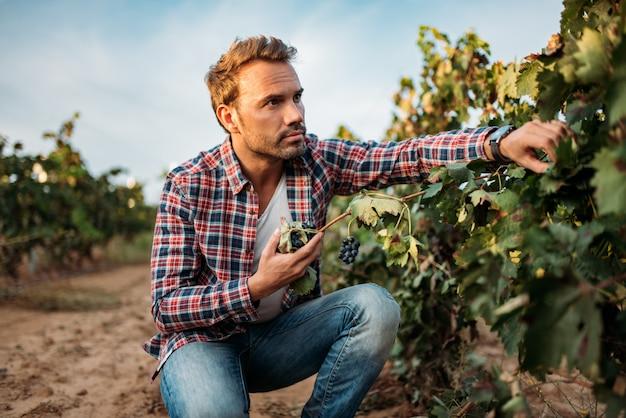 Młody człowiek chwyta winogrona w winnicy