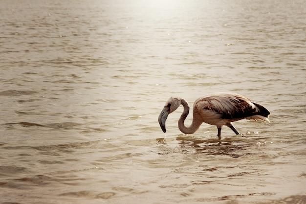 Młody flaming wchodzi do wody po kolana.