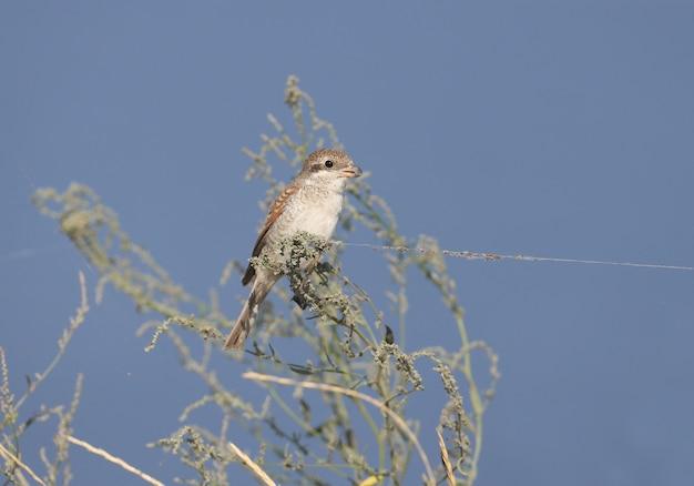 Młody gąsiorek (lanius collurio) siedzi na krzaku cienkiej trawy na tle błękitnego nieba. niezwykła nić w sieci wygląda jak uwiązany ptak