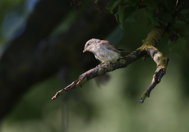 Młody gąsiorek (lanius collurio) siedzi w cieniu na grubej gałęzi drzewa, czekając na zdobycz. szczegółowe zdjęcie w zbliżeniu
