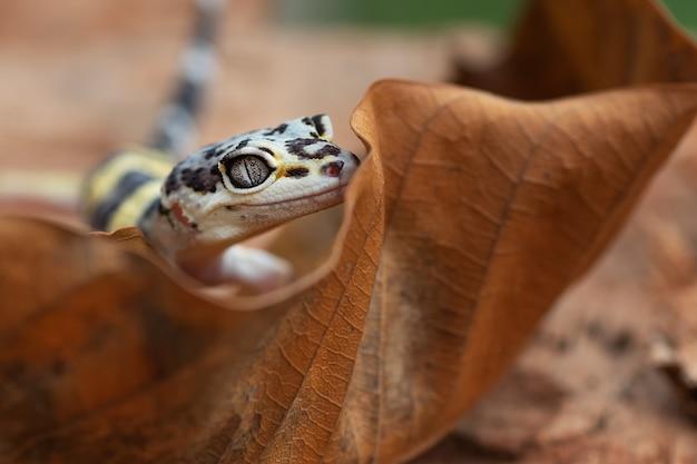Młody gekon lamparci w naturze