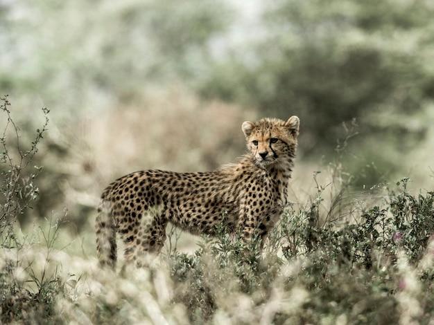 Młody gepard w parku narodowym serengeti