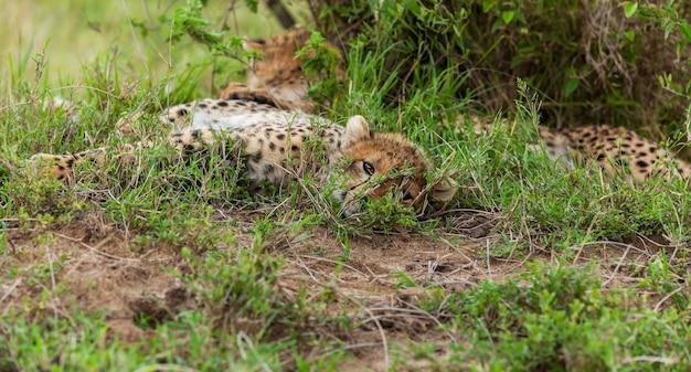 Młody gepard w serengeti, tanzania.rodzina gepardów. rodzina gepardów na łonie natury