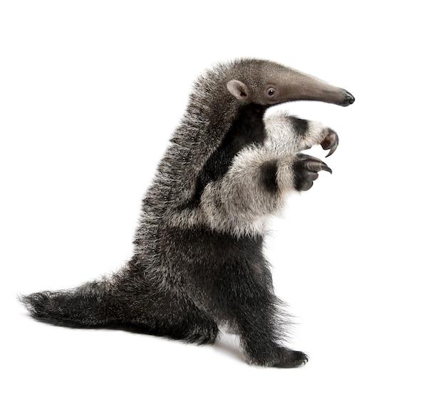 Młody giant anteater, myrmecophaga tridactyla, chodzenie na białym na białym tle,