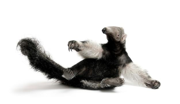 Młody giant anteater, myrmecophaga tridactyla, siedzący na białym odosobnionym,