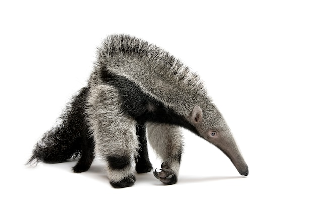 Młody giant anteater - myrmecophaga tridactyla