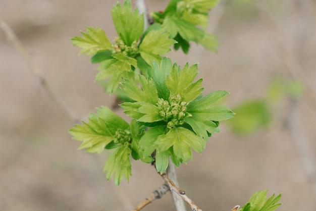 Młody głóg pozostawia na gałęzi w ogrodzie wiosną