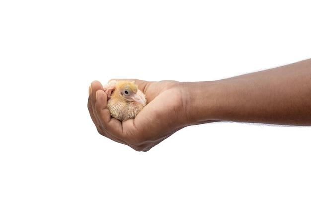 Młody gołąb niemowlęcy na męskiej dłoni z bliska na odosobnionym białym tle