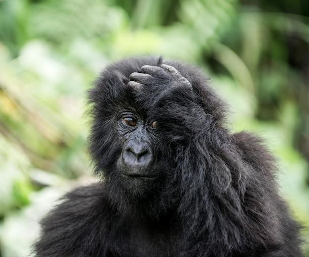 Młody goryl górski w parku narodowym virunga afryka drk afryka środkowa