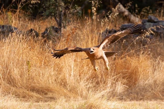 Młody hiszpański orzeł cesarski latający. aquila adalberti
