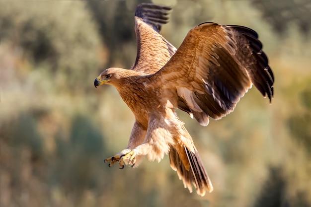 Młody hiszpański orzeł cesarski, orły, ptaki