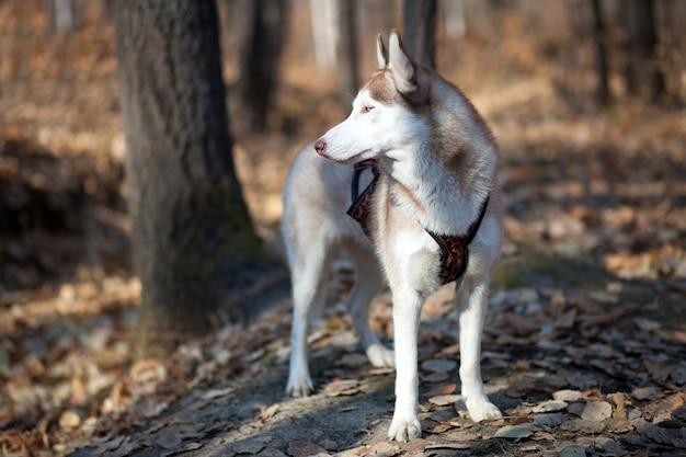 Młody husky syberyjski w jesiennym lesie