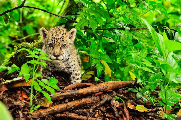 Młody jaguar skradający się po trawie