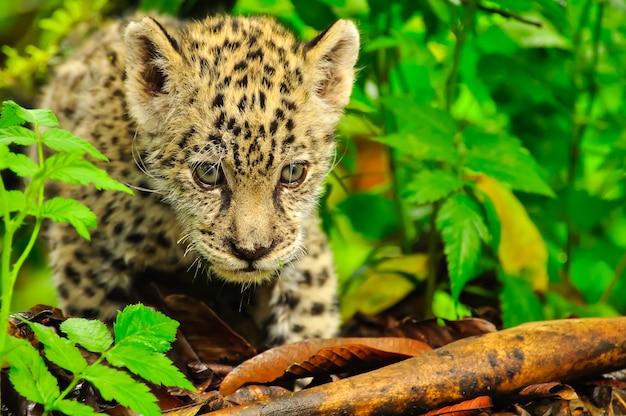 Młody jaguar w trawie