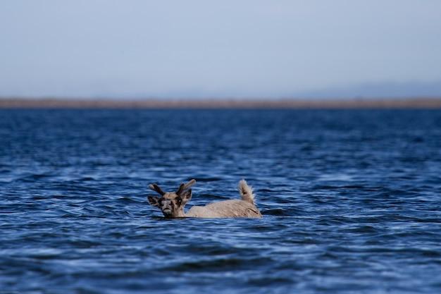 Młody jałowy karibu ziemny, rangifer tarandus groenlandicus, pływający w wodzie
