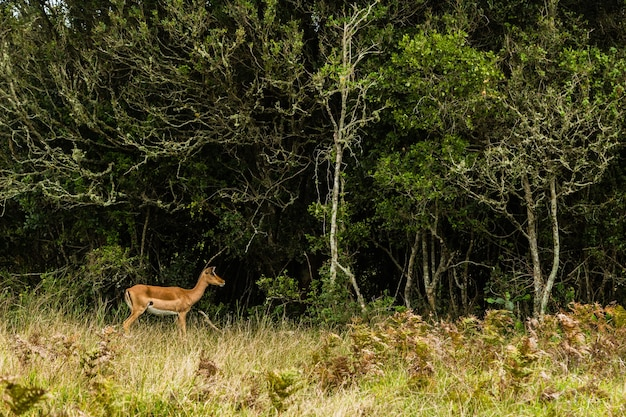 Młody jeleń biegnie w kierunku drzew na otwartym polu porośniętym trawą