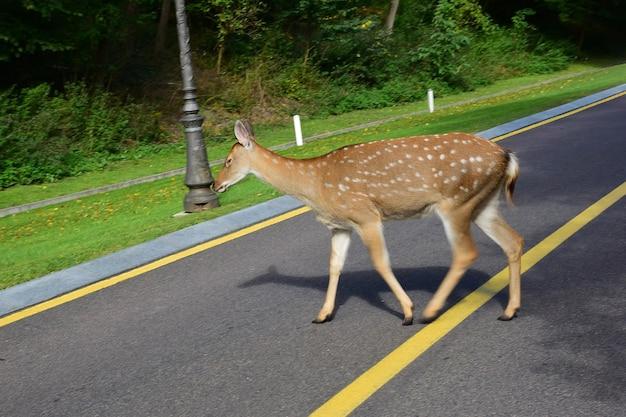 Młody jeleń sika spaceruje po jesiennym parku i przechodzi przez pustą asfaltową drogę