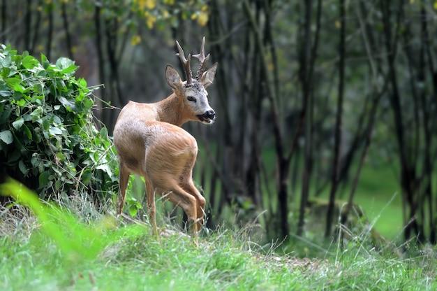 Młody jeleń w lesie latem