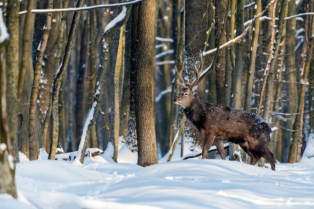 Młody jeleń w zimowym lesie