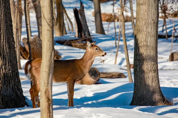 Młody jeleń whitetail stojący na skraju lasu na zimę dziki krajobraz