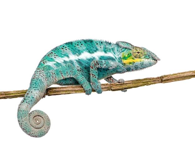 Młody kameleon furcifer pardalis - ankify na bielu odizolowywającym