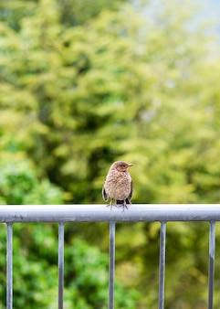 Młody kos siedzi na metalowej poręczy balkonu w ogrodzie.