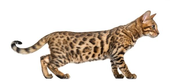 Młody kot bengalski na białym tle