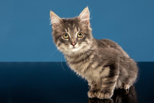 Młody kot lub kociak siedzi przed niebieską ścianą. elastyczny i ładny zwierzak.