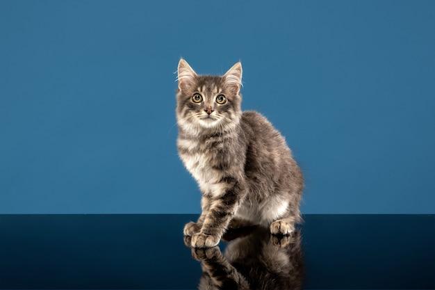 Młody kot lub kotek siedzi przed niebieskim