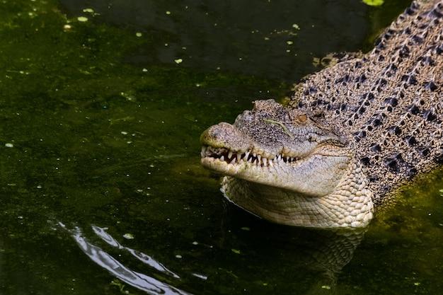 Młody krokodyl czeka na jedzenie stojąc w stawie