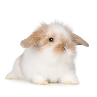 Młody królik na białym tle