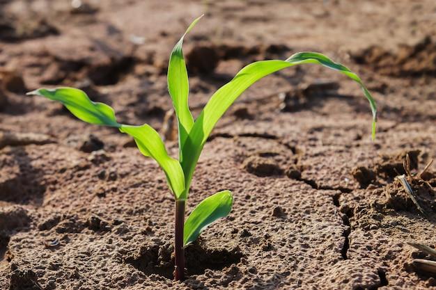 Młody kukurydzany dorośnięcie na pola i ranku świetle