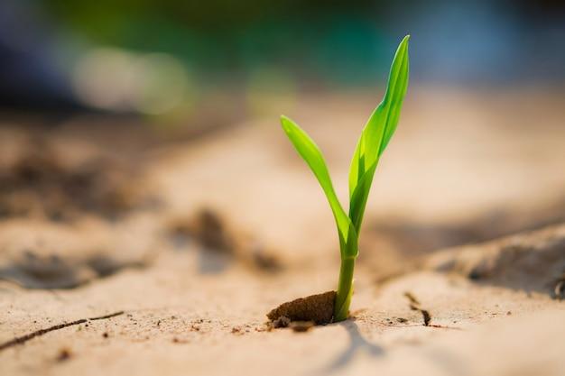 Młody kukurydzany dorośnięcie w śródpolnym i ranek świetle