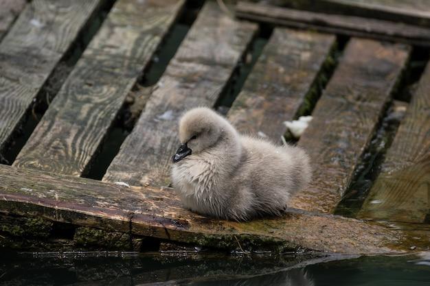Młody łabędziątko na gnieździe, w profilu.