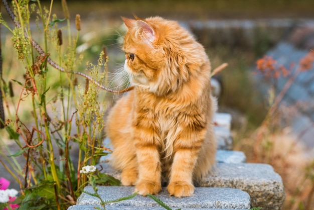 Młody ładny czerwony kot perski portret spaceru w parku