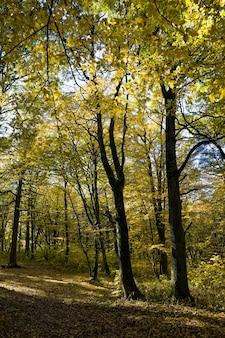 Młody las z drzewami liściastymi jesienią oświetlony światłem słonecznym, krajobraz pięknej, prawdziwej przyrody podczas opadania liści