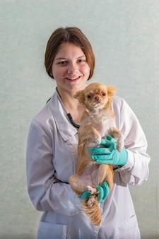 Młody lekarz weterynarii dziewczyna trzyma redheaded chihuahua i uśmiecha się.