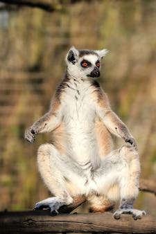 Młody lemur katta