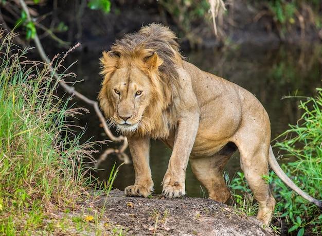 Młody lew w pobliżu małego stawu w trawie. kenia. tanzania. afryka.