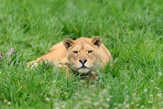 Młody lew w zielonej trawie