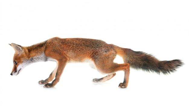 Młody lis czerwony